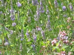 Lavender bush, paradise for bumble bees and butterflies